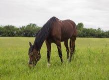 коричневая лошадь Стоковое Изображение RF