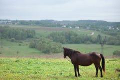 коричневая лошадь Стоковое фото RF