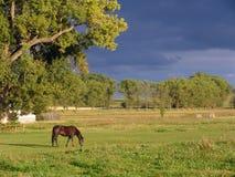 коричневая пася лошадь Стоковая Фотография