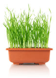 коричневая пшеница высасывателя бака моложавая Стоковое Изображение