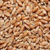 коричневая пшеница зерен Стоковое Изображение RF