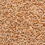 коричневая пшеница зерен Стоковое Фото