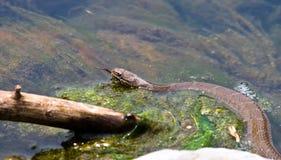 коричневая северная вода змейки стоковые изображения rf