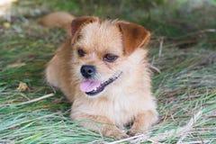 коричневая собака немногая стоковое изображение rf
