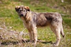 коричневая собака, потерянная, бездомные как Стоковая Фотография