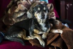 Коричневая собака сонная Стоковые Изображения RF