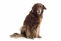коричневая собака Стоковые Фото