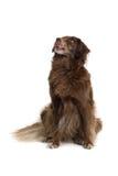 коричневая собака Стоковое Изображение