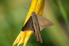 коричневая сумеречница цветка Стоковое Фото