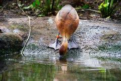Коричневая утка питьевая вода Стоковое Фото
