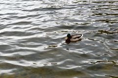Коричневая утка с зеленой головой и желтым клювом Стоковое Изображение