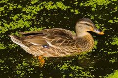 коричневая утка Стоковая Фотография RF