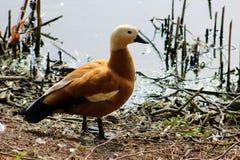 коричневая утка Стоковые Изображения