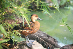 коричневая утка Стоковое Фото
