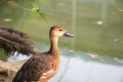 коричневая утка Стоковые Изображения RF