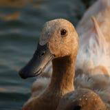 коричневая утка Стоковые Фотографии RF