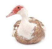 коричневая утка Стоковая Фотография