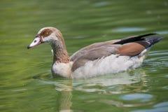 коричневая утка Стоковое Изображение