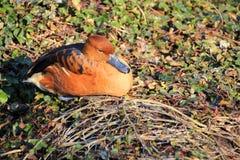 коричневая утка Стоковое Изображение RF