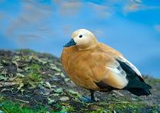 коричневая утка Стоковые Фото