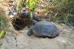 коричневая черепаха фото r michael суслика стоковое изображение rf