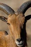 коричневая экзотическая козочка Стоковое фото RF