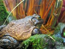 Лягушка Брайна Стоковое Фото