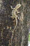 коричневая ящерица Стоковое Изображение RF