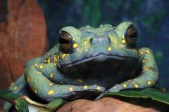 коричневая malayan жаба Стоковая Фотография