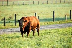 коричневейте быка стоковая фотография