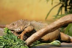 коричневейте игуану Стоковое Фото