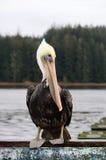 коричневейте пеликана Стоковое Изображение