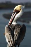 коричневейте пеликана pelecanus occidentalis Стоковое Изображение RF