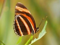 коричневейте помеец бабочки Стоковые Фото