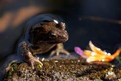 коричневейте пруд лягушки Стоковая Фотография