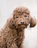 коричневейте щенка волос Стоковая Фотография RF