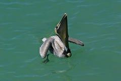 коричневейте pelicanus пеликана occidentalis Стоковые Фотографии RF