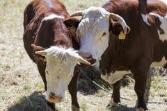 2 коричневое и белые осиплые быки с короткими рожками Стоковая Фотография RF