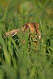 коричневое усаживание портрета зайцев Стоковые Изображения