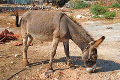 коричневое halki осла Стоковая Фотография RF