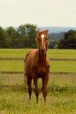 коричневое horsie Стоковые Изображения