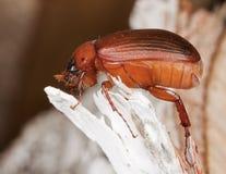 коричневое serica жук-чефера brunnea Стоковые Фото