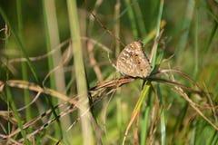 коричневой белизна изолированная бабочкой Стоковая Фотография RF