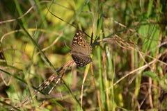 коричневой белизна изолированная бабочкой Стоковое Изображение