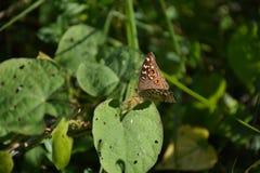 коричневой белизна изолированная бабочкой Стоковое Изображение RF