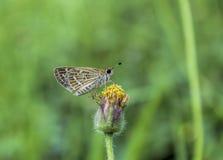 коричневой белизна изолированная бабочкой Стоковое фото RF