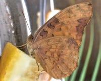 коричневой белизна изолированная бабочкой Стоковое Фото