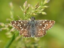 коричневой белизна изолированная бабочкой Стоковые Фотографии RF