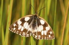 коричневой белизна изолированная бабочкой Стоковые Изображения RF