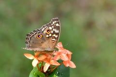 коричневой белизна изолированная бабочкой Стоковая Фотография